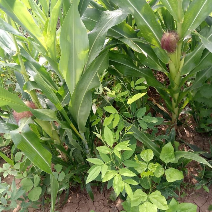 Picture-3_Intercropping-and-covercropping-part-2