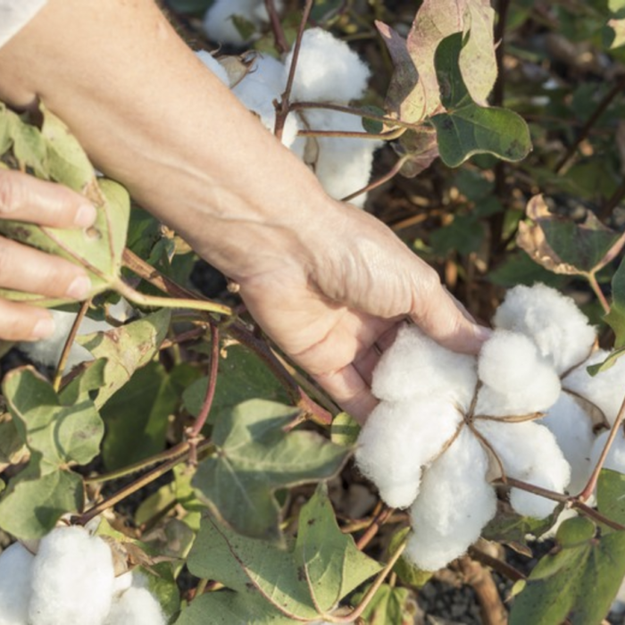 Hand-picked-cotton