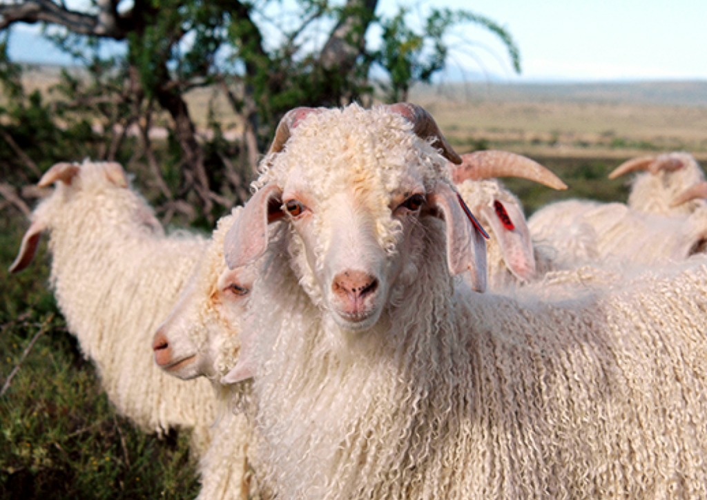 Press Kit: New Responsible Mohair Standard and Updated Responsible Wool Standard 2