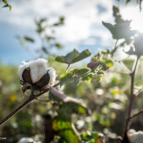 Cotton in Africa: Sustainability at a Crossroads 2